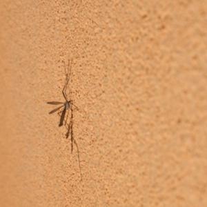 florida mosquitoes