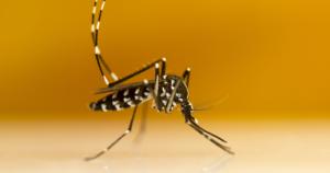 GMOs Secret to Solving Mosquito Problems?